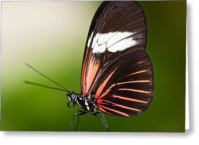 Invertebrates Greeting Cards - Red Postman Butterfly Greeting Card by Zoe Ferrie