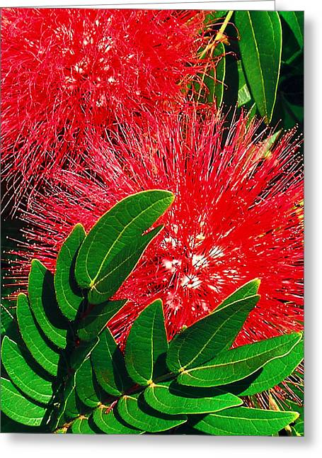 Red Powder Puff Greeting Card by James Temple