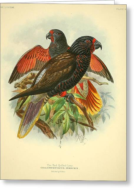 Audubon Greeting Cards - Red Quilled Lory Greeting Card by J G Keulemans
