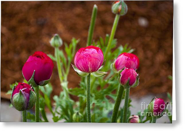 Silverton Greeting Cards - Red Ranunculus Blossoms Greeting Card by Mandy Judson