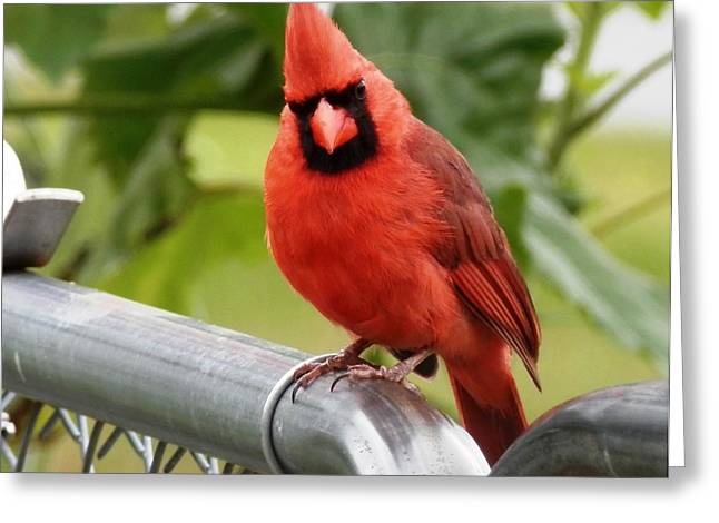 Cut-outs Greeting Cards - Red Red Cardinal Greeting Card by Belinda Lee
