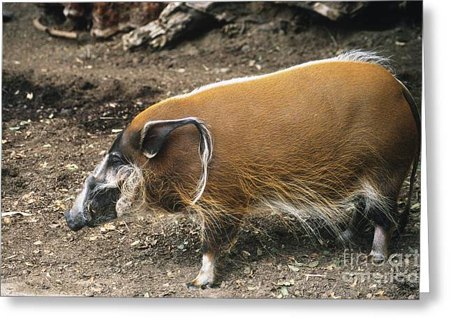 Red Hog Greeting Cards - Red River Hog Greeting Card by Mark Newman