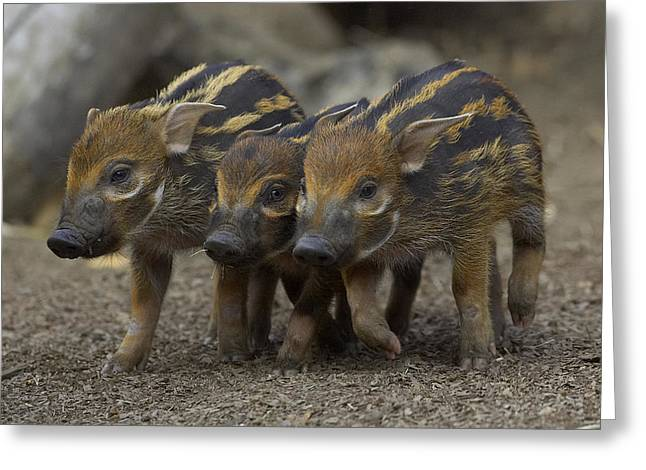 Piglets Greeting Cards - Red River Hog Piglet Trio Greeting Card by San Diego Zoo