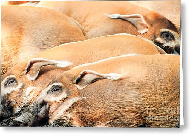 Hairy Pig Greeting Cards - Red River Hogs Potamochoerus porcus Greeting Card by Stephan Pietzko