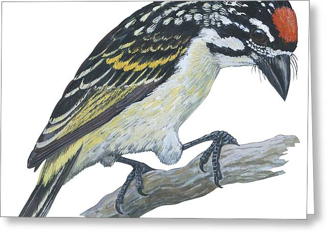 Western Script Greeting Cards - Red ronted tinkerbird Greeting Card by Anonymous
