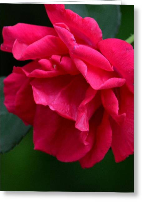 Maria Urso Greeting Cards - Red Rose 2013 Greeting Card by Maria Urso