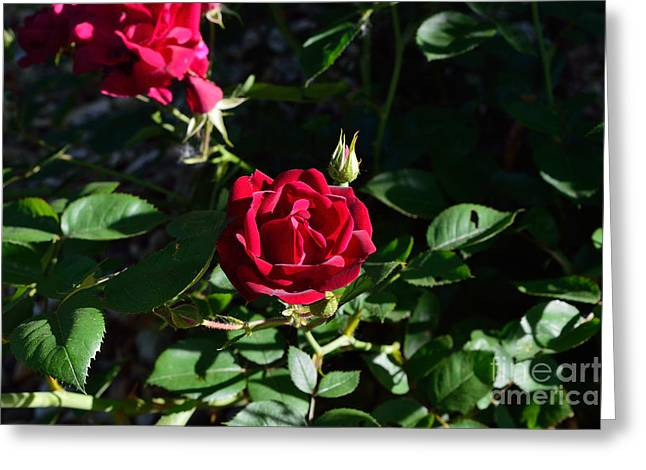 Indiana Flowers Greeting Cards - Red Rose At Dawn Greeting Card by Alys Caviness-Gober