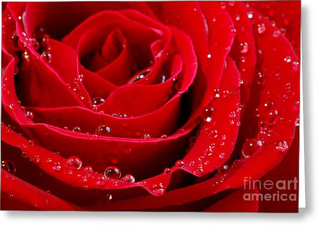 Water Droplets Greeting Cards - Red rose Greeting Card by Elena Elisseeva