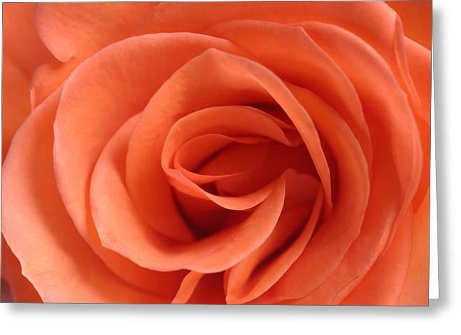 Rose Pleasure Greeting Cards - Red Rose Floribunda closeup Greeting Card by Andy Myatt