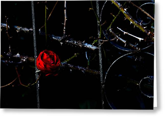 Fence Pyrography Greeting Cards - Red rose Greeting Card by Michael  Bjerg