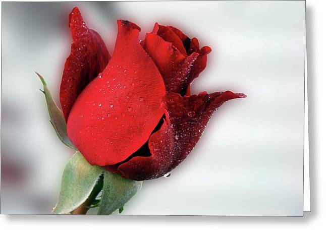 Indiana Roses Greeting Cards - Red Rose Opening Greeting Card by Sandy Keeton