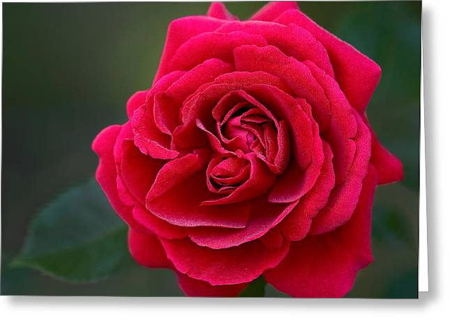 Foliage Greeting Cards - Red Rose Greeting Card by Susan Candelario