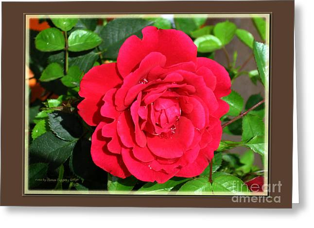 Shower Curtain Greeting Cards - Red Roses Greeting Card by  ILONA ANITA TIGGES - GOETZE  ART and Photography