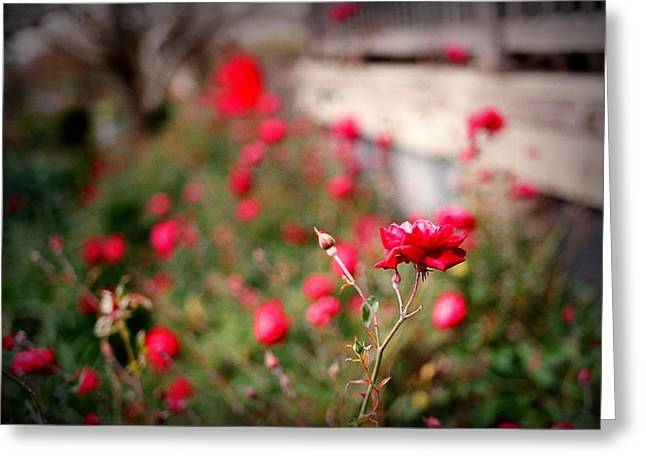 Garden Scene Greeting Cards - Red Roses on Film Greeting Card by Linda Unger