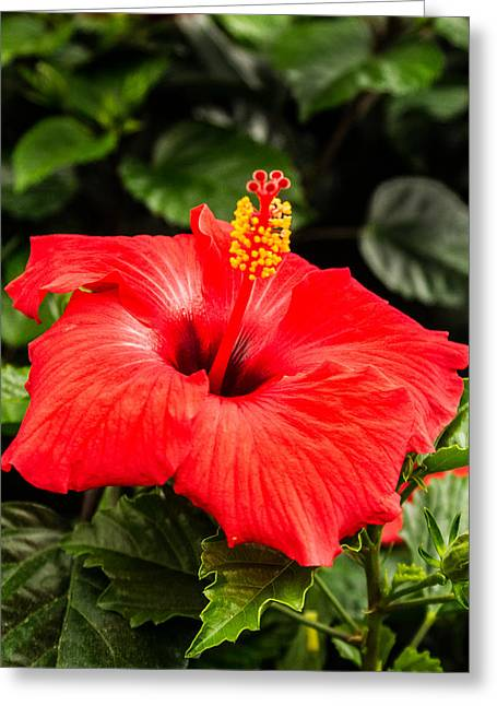 Ovates Greeting Cards - Red Rosy Hibiscus Greeting Card by Douglas Barnett