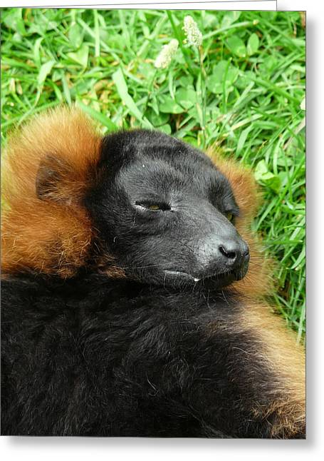 Red-ruffed Lemur Greeting Cards - Red Ruffed Lemur Greeting Card by Charles H Middleburgh