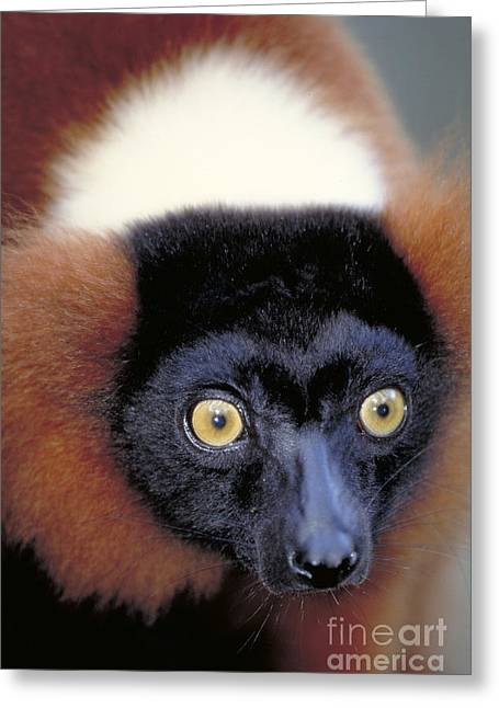 Variegata Greeting Cards - Red Ruffed Lemur, Madagascar Greeting Card by Art Wolfe