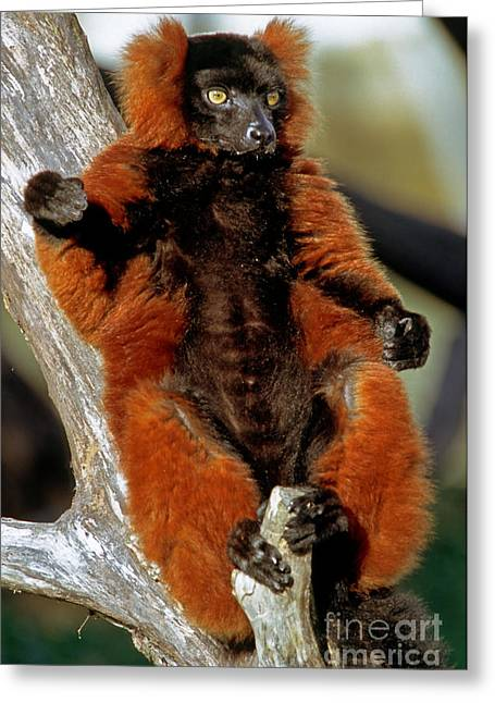 Red-ruffed Lemur Greeting Card by Millard H. Sharp