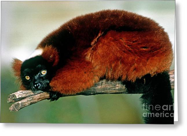 Red Ruffed Lemur Varecia Variegata Rubra Greeting Card by Millard H. Sharp