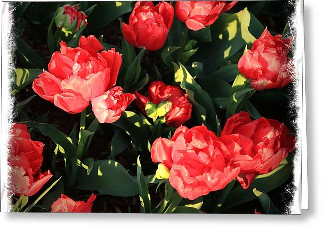 Red And Green Photographs Greeting Cards - Red Ruffly Tulips with Border Greeting Card by Carol Groenen