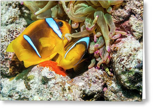 Red Sea Anemonefish Spawning Greeting Card by Georgette Douwma