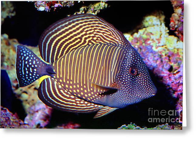Acanthuridae Greeting Cards - Red Sea sailfin tang Greeting Card by Wernher Krutein