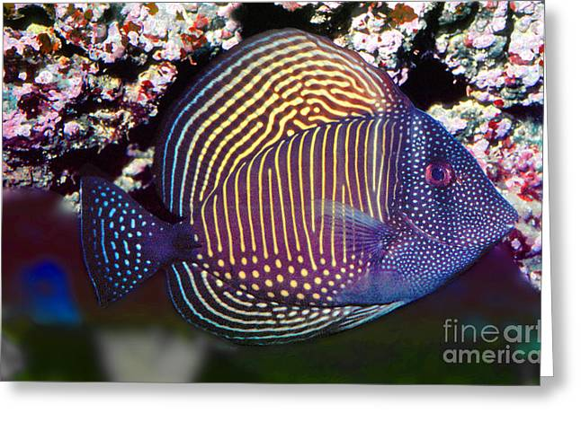 Acanthuridae Greeting Cards - Red Sea sailfin tang  Zebrasoma desjardinii Greeting Card by Wernher Krutein