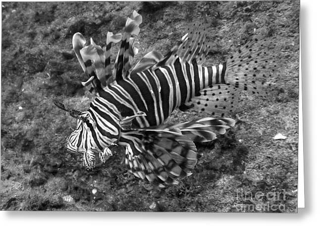 Masterful Greeting Cards - Red Sea Zebra Fish Greeting Card by Aston Pershing