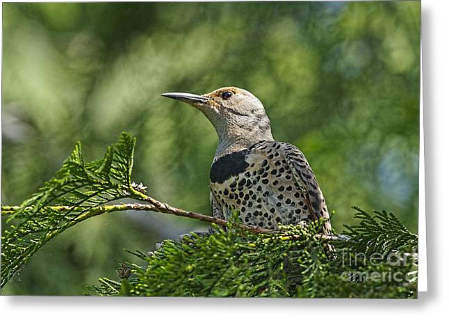 Bird On Tree Greeting Cards - Red Shafted Northern Flicker female Greeting Card by Sharon  Talson