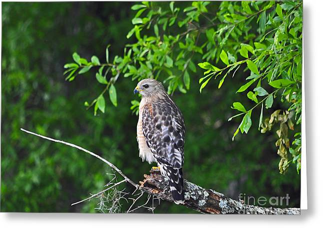 Bird Of Prey Greeting Card Greeting Cards - Red-shouldered Hawk Greeting Card by Al Powell Photography USA