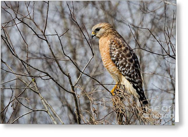 River View Greeting Cards - Red-shouldered Hawk Blue Springs State Park Florida Greeting Card by Dawna  Moore Photography