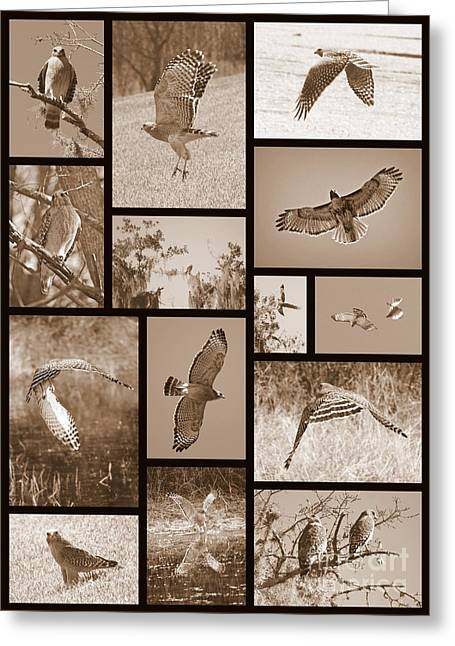 Red-shouldered Hawk Collage Greeting Card by Carol Groenen