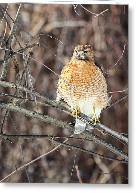 Connecticut Wildlife Greeting Cards - Red Shouldered Hawk Front View Greeting Card by Bill  Wakeley