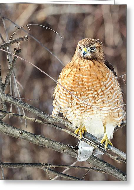 Red Shouldered Hawk Greeting Cards - Red-Shouldered Hawk Front View Square Greeting Card by Bill  Wakeley