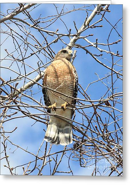 Red Shouldered Hawk In Tree Greeting Card by Carol Groenen