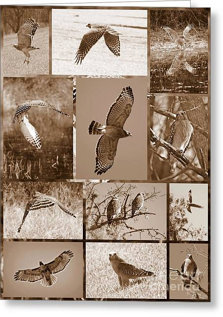 Bird On Tree Greeting Cards - Red-Shouldered Hawk Poster - Sepia Greeting Card by Carol Groenen