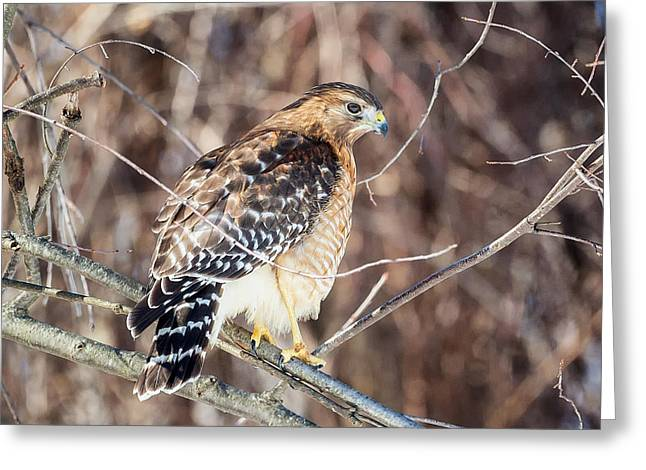 Red Shouldered Hawk Greeting Cards - Red-Shouldered Hawk Rear View Square Greeting Card by Bill  Wakeley