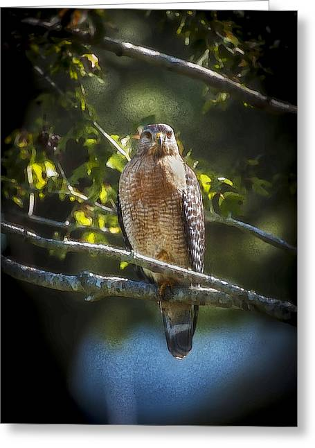 Red Shouldered Greeting Cards - Red Shouldered Hawk Greeting Card by Rich Franco