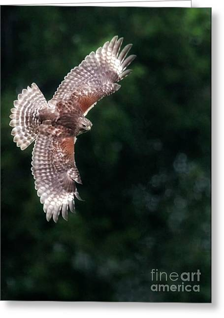 Red Shouldered Hawk Greeting Cards - Red Shouldered Hawk Greeting Card by Sabrina L Ryan