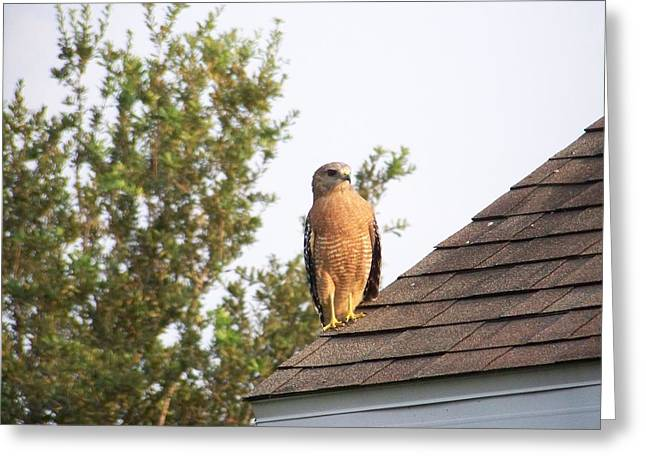 Hoa Greeting Cards - Red Shouldered Raptor Greeting Card by J  Leigh