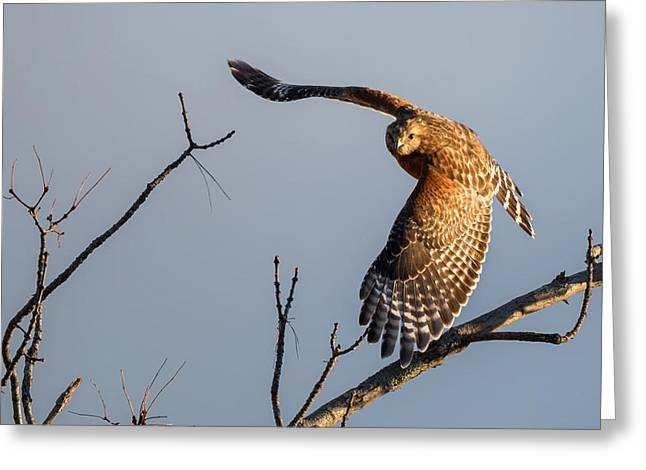 Red Shouldered Hawk Greeting Cards - Red Shoulered Hawk in Flight Greeting Card by Bill  Wakeley