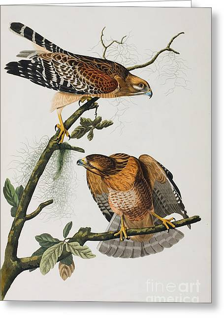 Wild Life Drawings Greeting Cards - Red Shoulered Hawk Greeting Card by John James Audubon