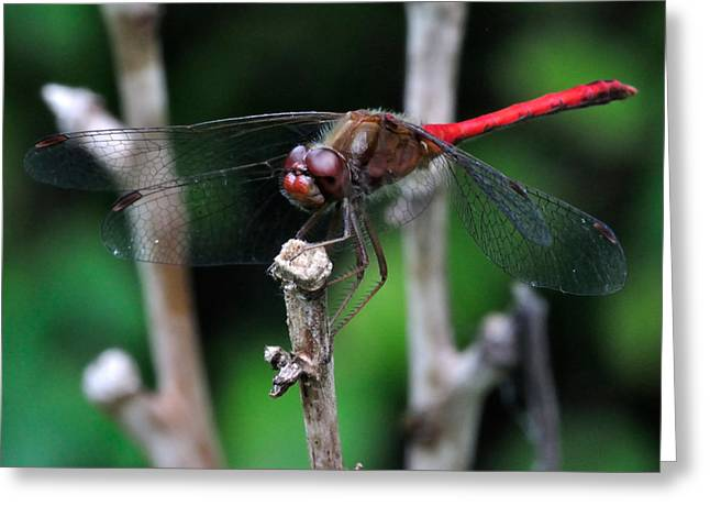 Dragonflies Greeting Cards - Red Skimmer 2 Greeting Card by J Scott Davidson