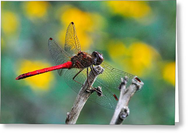 Dragonfly Greeting Cards - Red Skimmer Greeting Card by J Scott Davidson