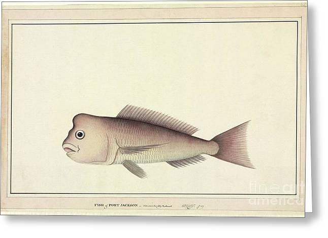 Red Snapper Greeting Cards - Red Snapper, 18th Century Greeting Card by Natural History Museum, London