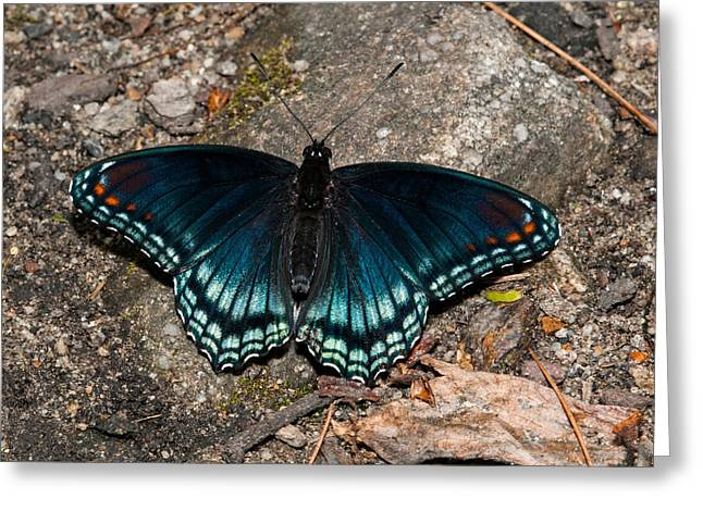 Red Spotted Purple Butterfly Greeting Card by Lara Ellis