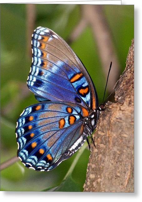 Sandy Keeton Photography Greeting Cards - Red Spotted Purple Butterfly Greeting Card by Sandy Keeton