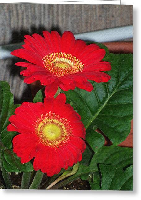 """flower Still Life Prints"" Greeting Cards - Red Spring flowers Greeting Card by B L Hickman"