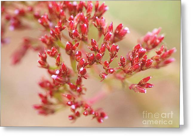 Limonium Greeting Cards - Red Sprinkles Greeting Card by Irina WardasTiny Red Sprinkles