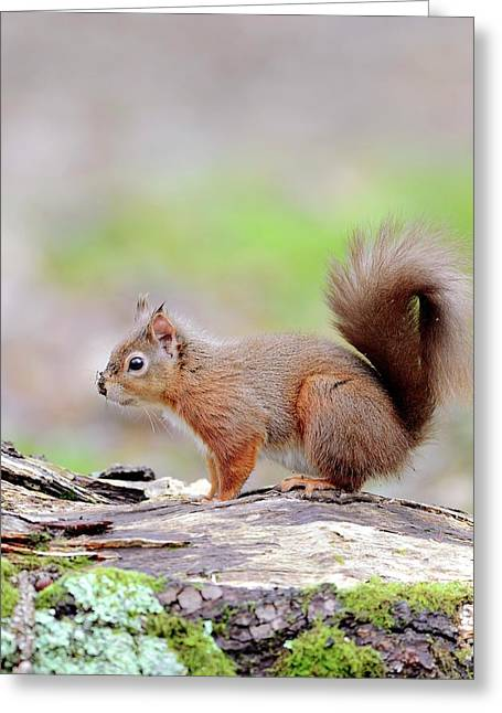 Red Squirrel Greeting Card by Colin Varndell